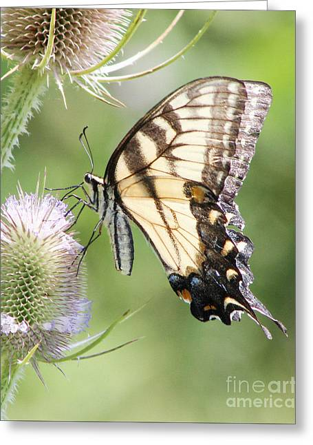 Swallowtail Delight Greeting Card by Anita Oakley