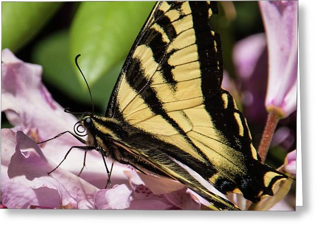 Swallowtail Butterfly Greeting Card