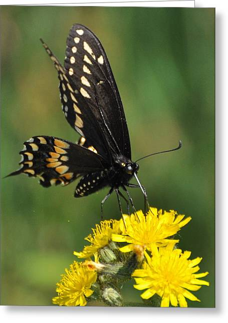 Swallowtail On Putney Mt. Greeting Card by Gerald Hiam