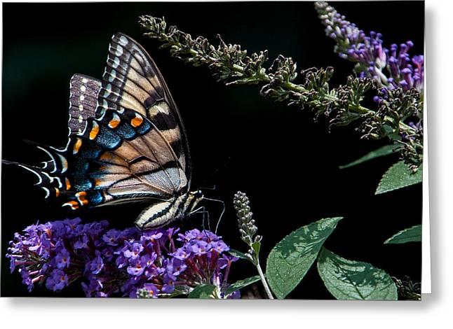 Swallowtail Posing Greeting Card by Ron Plasencia