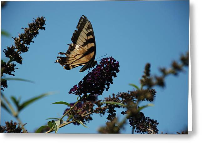 Swallowtail Greeting Card by William Thomas