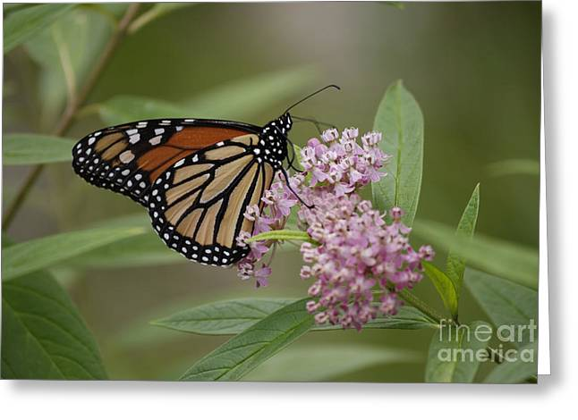 Swamp Milkweed Monarch Greeting Card