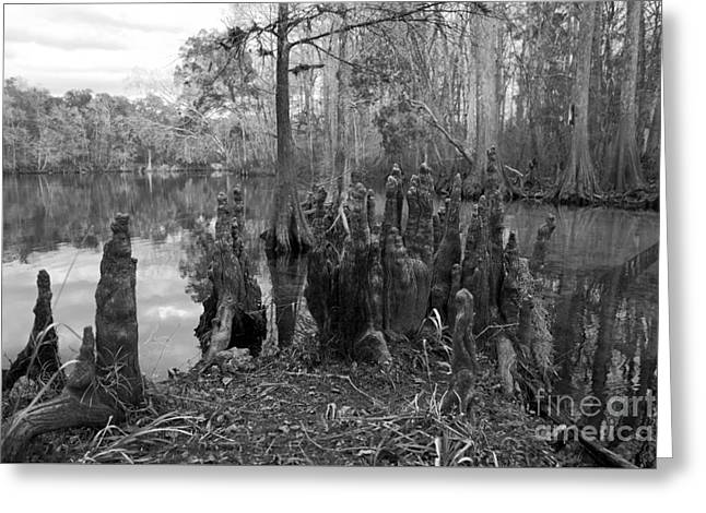 Swamp Stump Greeting Card by Blake Yeager