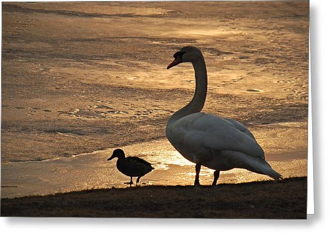 Greeting Card featuring the photograph Swan And Baby At Sunset by Richard Bryce and Family