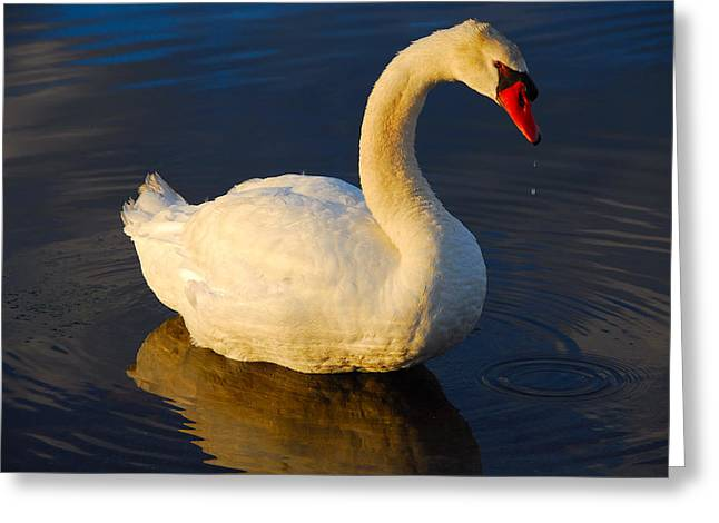 Swan Beauty Greeting Card