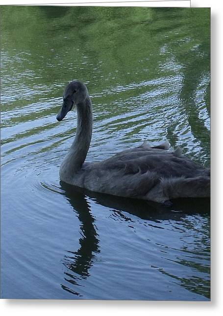 Swan Cygnet Greeting Card