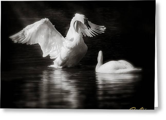 Swan Display Greeting Card by Rikk Flohr