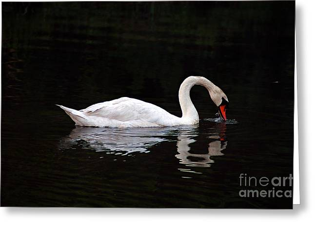 Swan Drinking Greeting Card by Clayton Bruster