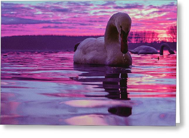 Swan During Purple Sunset Greeting Card