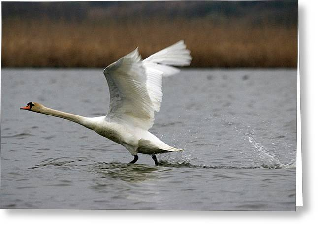 Swan During Take Off Greeting Card
