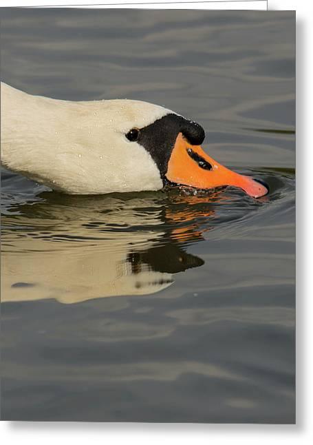 Swan Head  Greeting Card