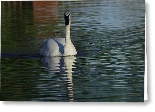 Swan In Calm Waters Greeting Card