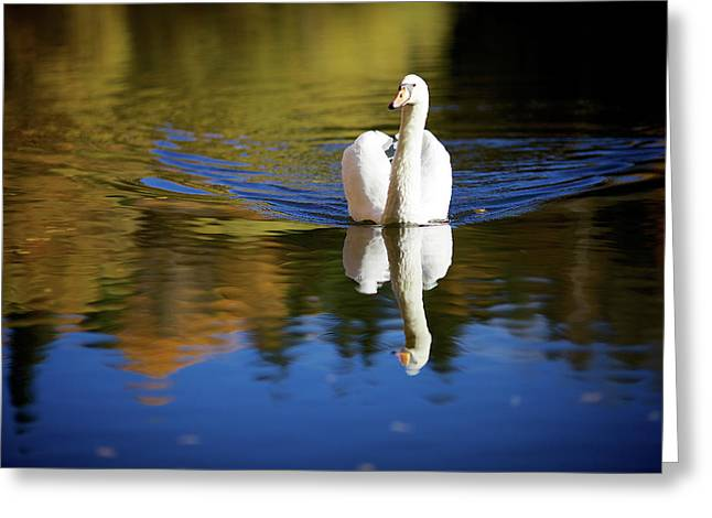 Swan In Color Greeting Card