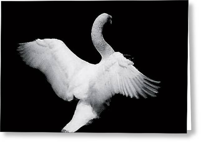 Swan In Flight Greeting Card by Glenn Vidal