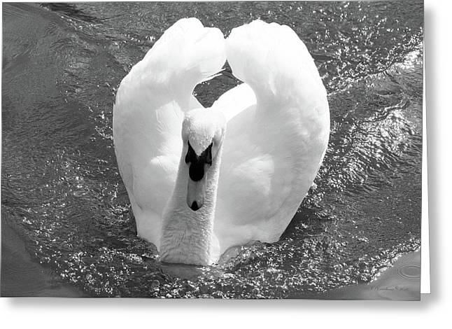 Swan In Motion Greeting Card by Inspirational Photo Creations Audrey Woods