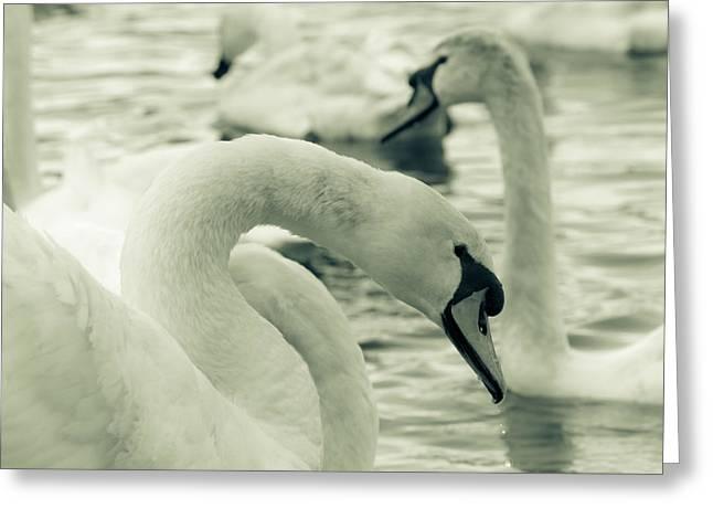 Swan In Water Greeting Card