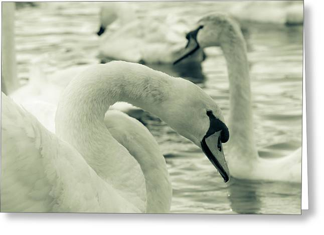 Swan In Water Greeting Card