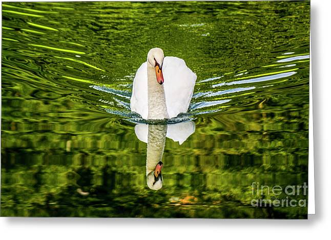 Swan Lake Nature Photo 892 Greeting Card