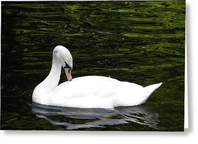 Swan May Greeting Card