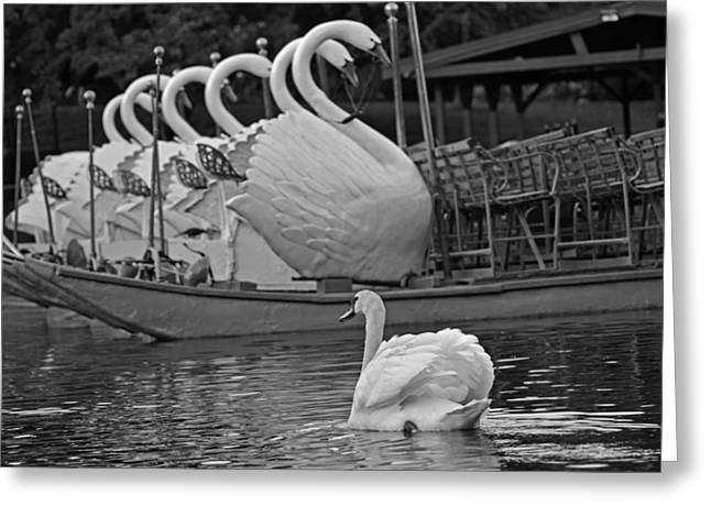 Swan Meeting Up With Some Friends Black And White Greeting Card