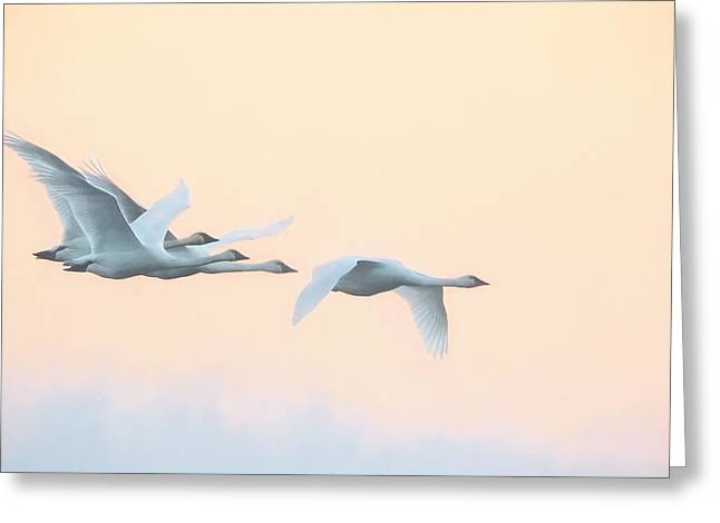 Greeting Card featuring the photograph Swan Migration  by Kelly Marquardt