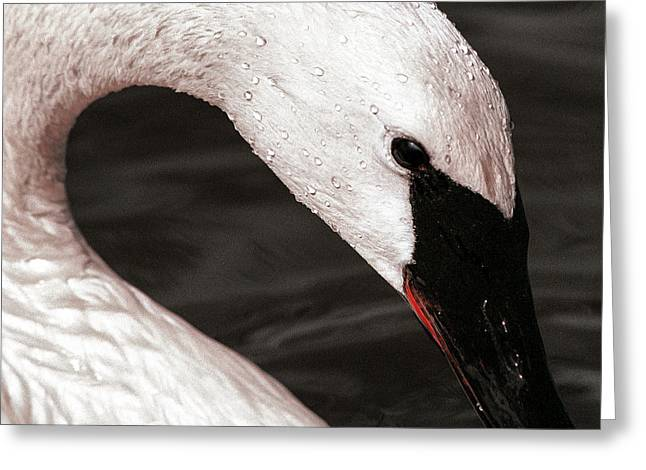 Swan Neck Greeting Card