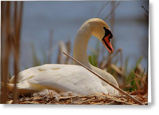 Swan Nesting Greeting Card