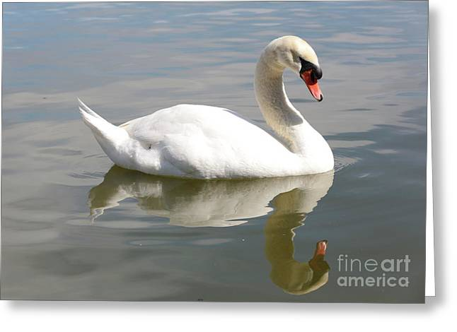 Swan Reflecting Greeting Card