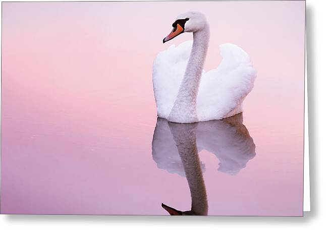Swan Reflections Greeting Card