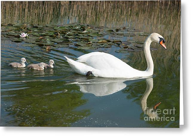 Swan Scenic Greeting Card by Andrew  Michael