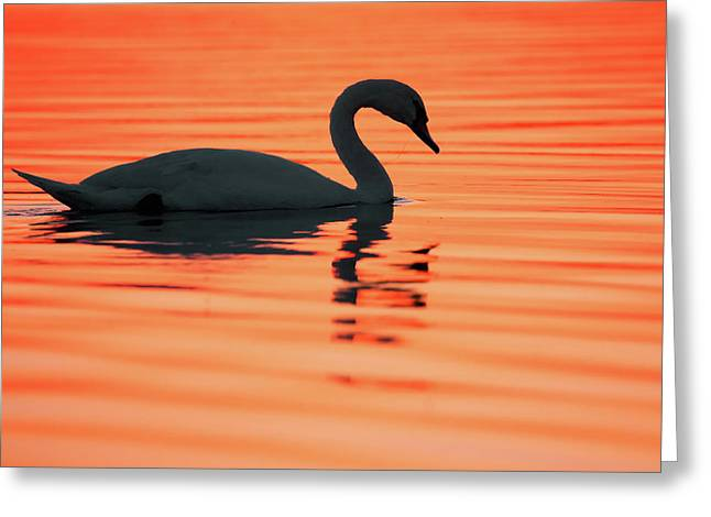 Swan Silhouette Greeting Card