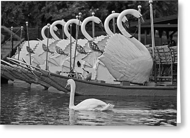 Swan Swimming Up With Some Friends Black And White Greeting Card