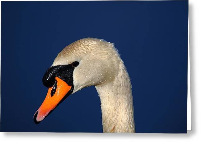Swan Greeting Card by Thof