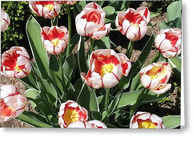 Greeting Card featuring the photograph Swanhurst Tulips by Jolanta Anna Karolska
