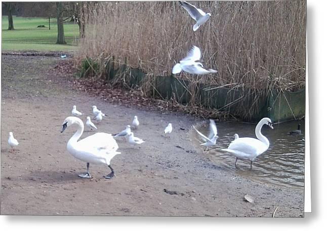 Swans 4 Greeting Card