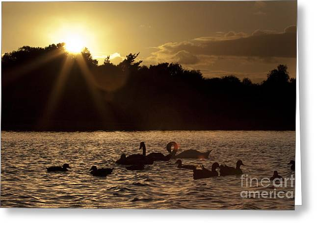 Swans And Ducks Greeting Card by Angel  Tarantella