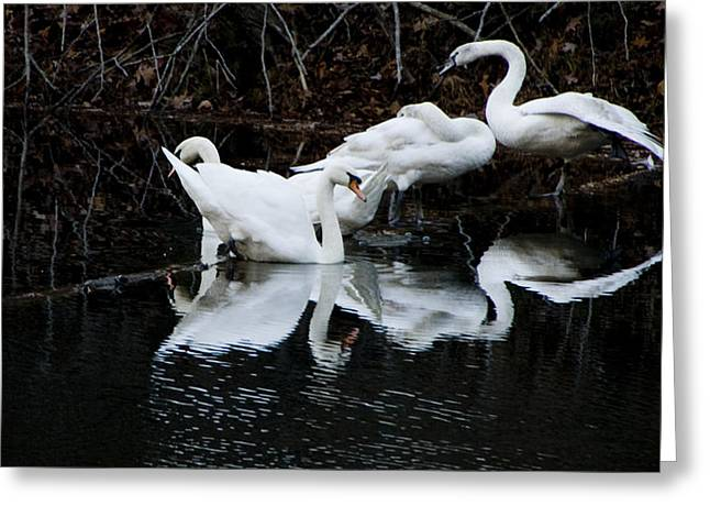 Swans And Snow Geese Greeting Card
