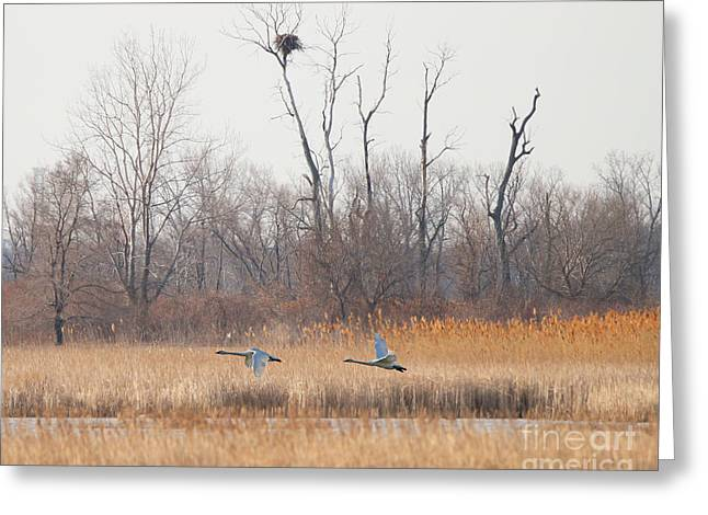 Swans Fly By Eagles Nest  8779 Greeting Card by Jack Schultz
