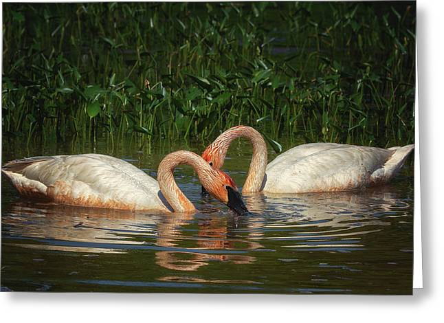 Swans In A Pond  Greeting Card