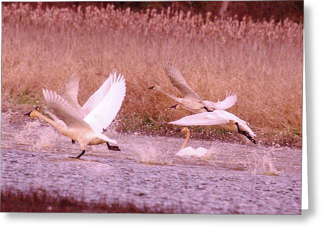 Swans In Take Off  Greeting Card by Jeff Swan
