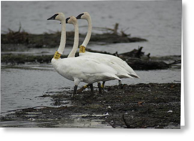 Greeting Card featuring the photograph Swans Line Dancing by Ron Read