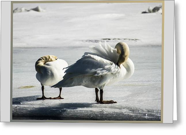 Swans On Ice Greeting Card