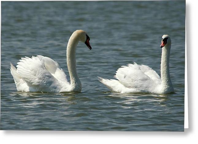 Swans On Lake  Greeting Card