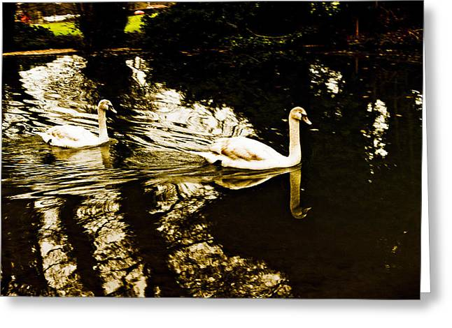 Swans On River Wey Greeting Card by Patrick Kain
