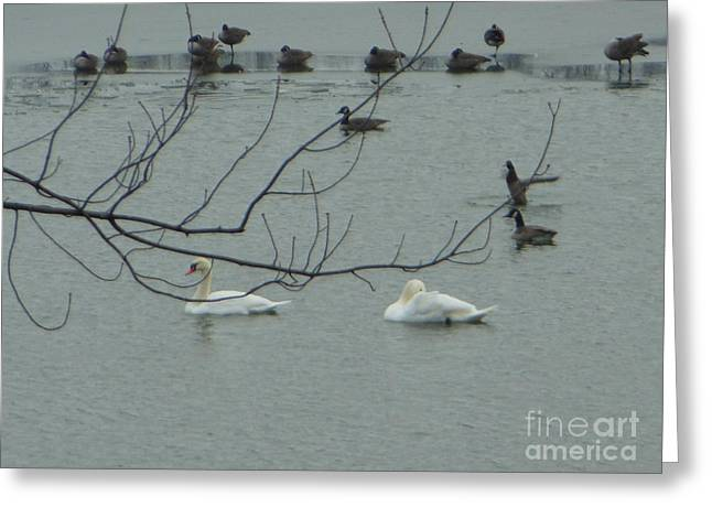 Swans With Geese Greeting Card