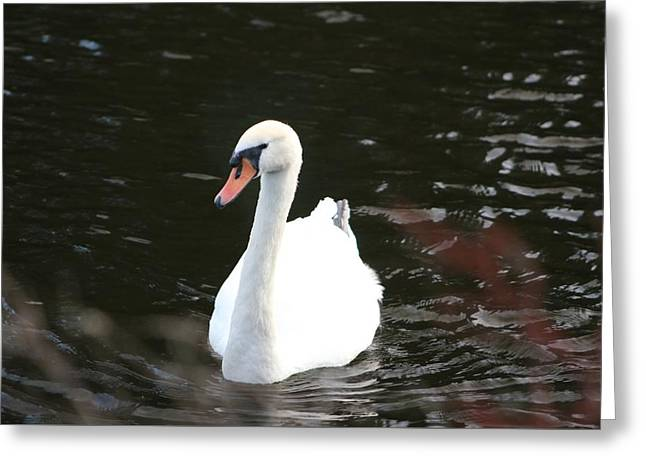 Swans-a-swimming Greeting Card