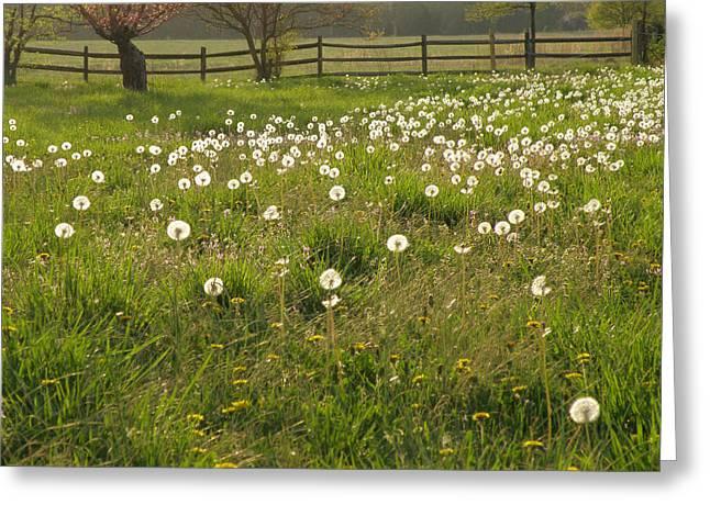 Swarming Dandelions Greeting Card