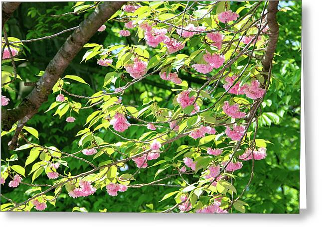 Sweeping Cherry Blossom Branches Greeting Card