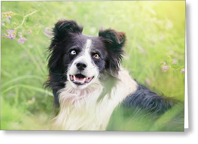 Sweet Border Collie Dog Portrait Greeting Card