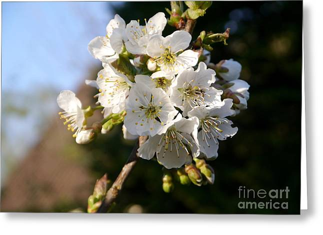 Sweet Cherry Blossoms Greeting Card by Christiane Schulze Art And Photography